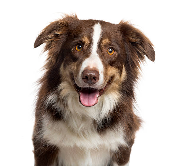 Close up of a Border Collie isolated on white Close up of a Border Collie sticking the tongue out and looking at the camera, isolated on white (3 years old) animal mouth stock pictures, royalty-free photos & images