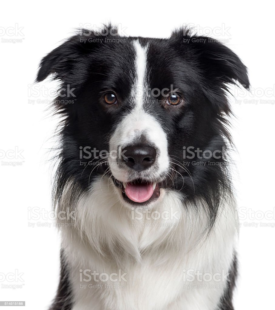 Close up of a Border Collie isolated on white stock photo
