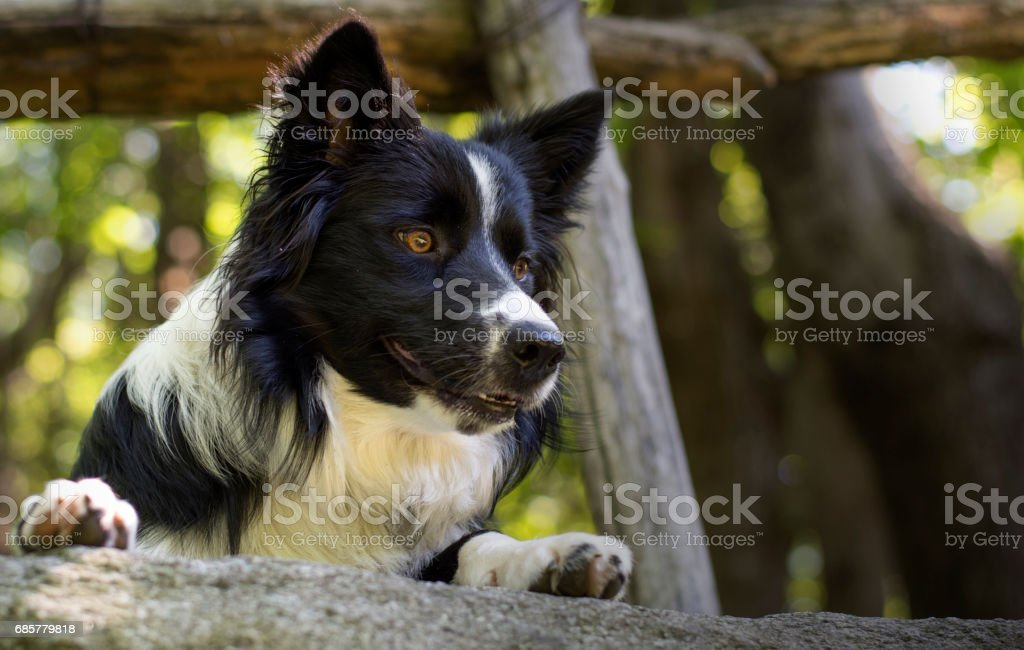 Close up of a border collie puppy under a wooden fence royalty-free stock photo