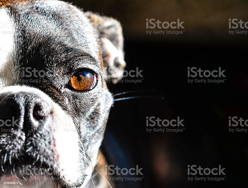 Close up of a Boston Terriers Face stock photo