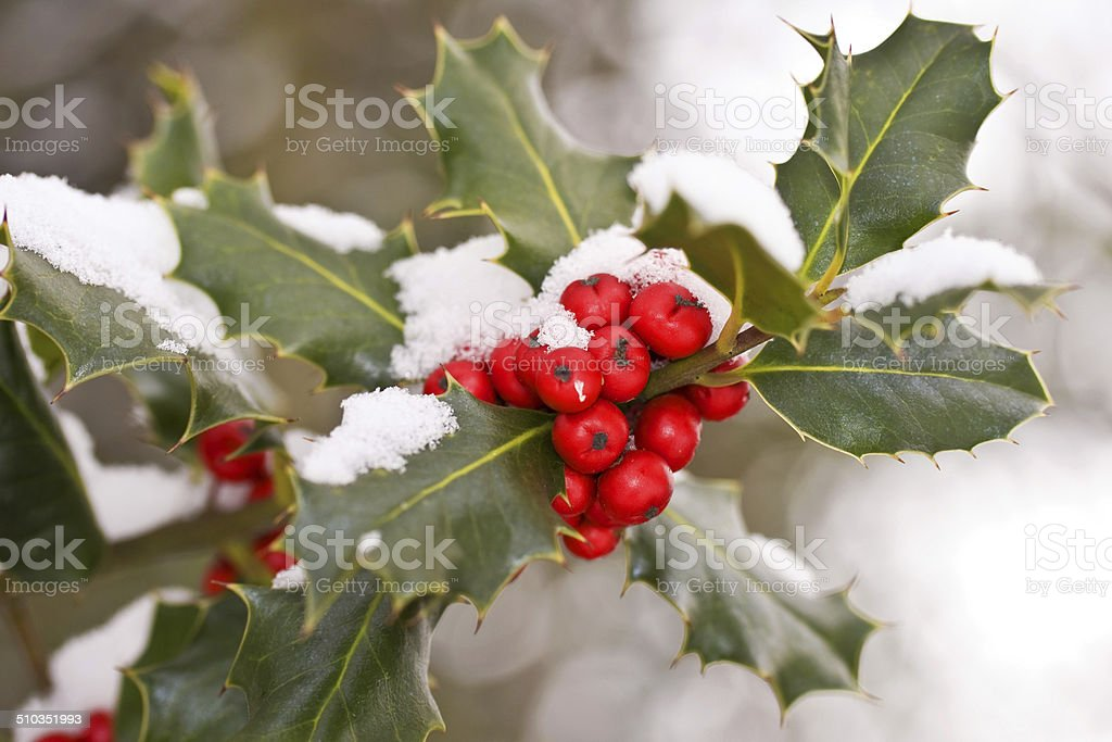 Close up of a branch of holly covered with snow stock photo