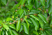 Close up of a branch of unripe cherries on a tree in the garden. Young, green cherries on tree branch. Prunus avium.