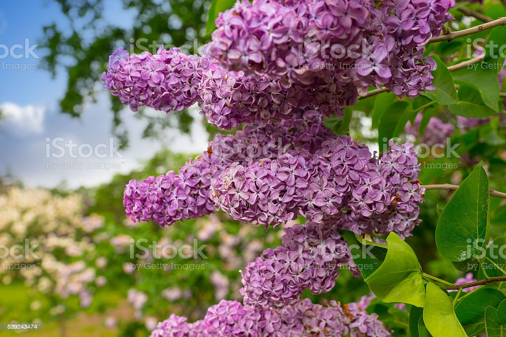 Close up of a branch with lilac flowers royalty-free stock photo