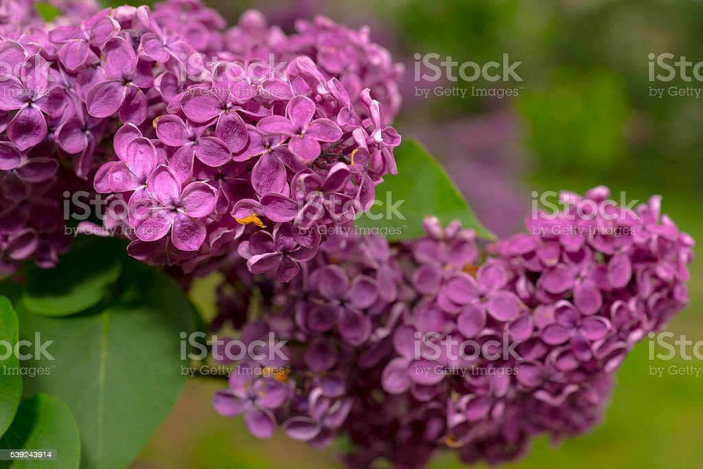 Close up of a branch with purple lilac flowers royalty-free stock photo