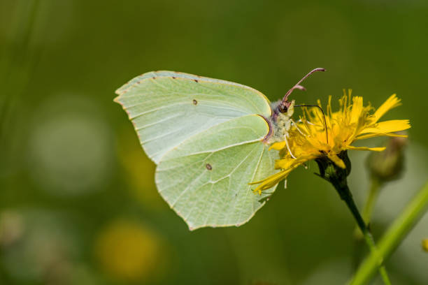 close up of a brimstone butterfly sitting on a yellow flower - zolfo foto e immagini stock