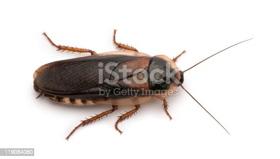 Dubia cockroach, Blaptica dubia, in front of white background.