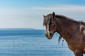 Beautiful Wild ponies from Assateague Island National Seashore in the sand dunes near Ocean city in the USA with the ocean in the background