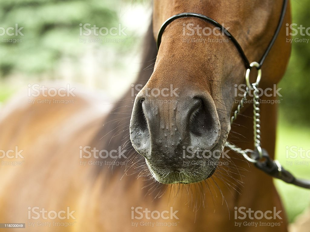 Close up of a brown horse's nose stock photo