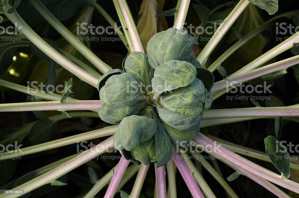 Close up of a brussels sprout plant royalty-free stock photo
