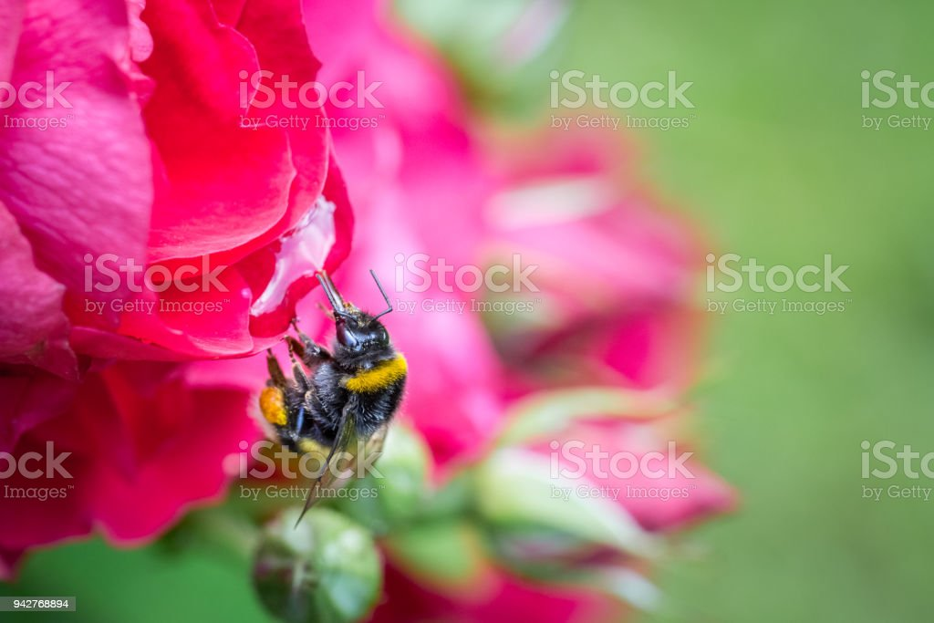 Close up of a bumblebee in mid-air next to a red garden rose. stock photo