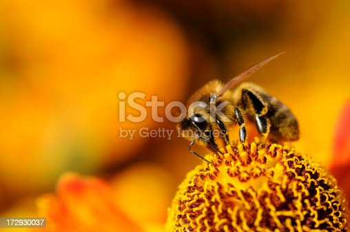 istock A close up of a bumblebee on a yellow flower 172930037