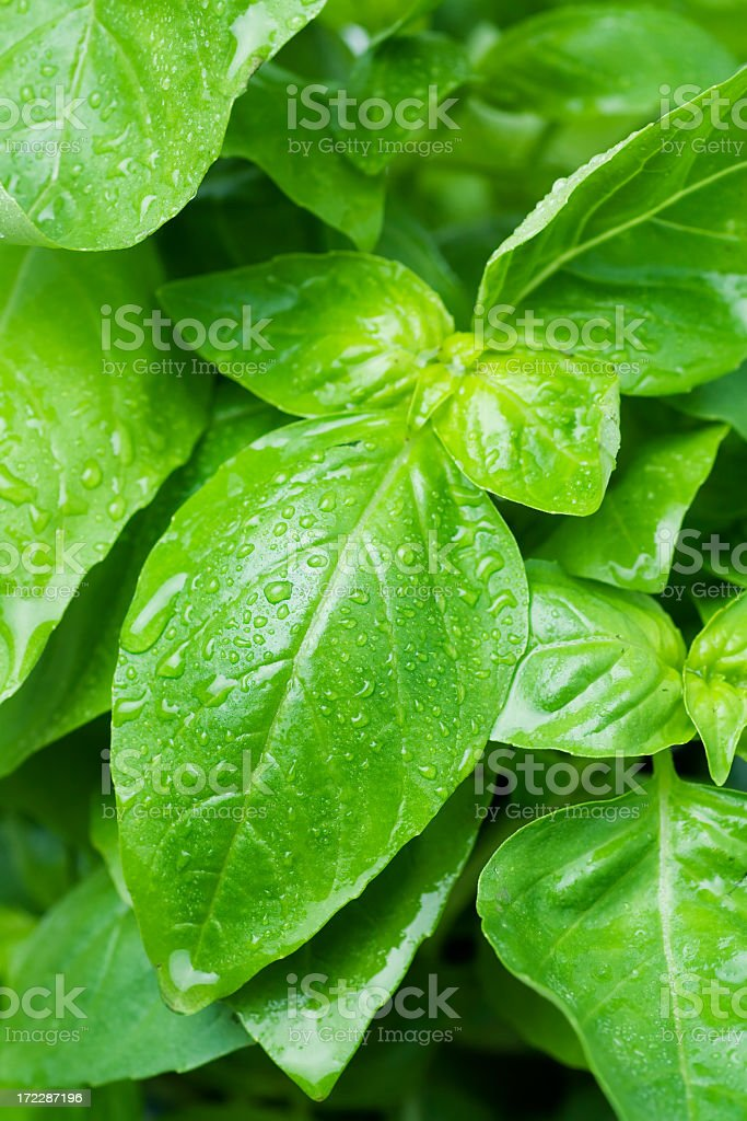A close up of a bunch of basil leaves royalty-free stock photo