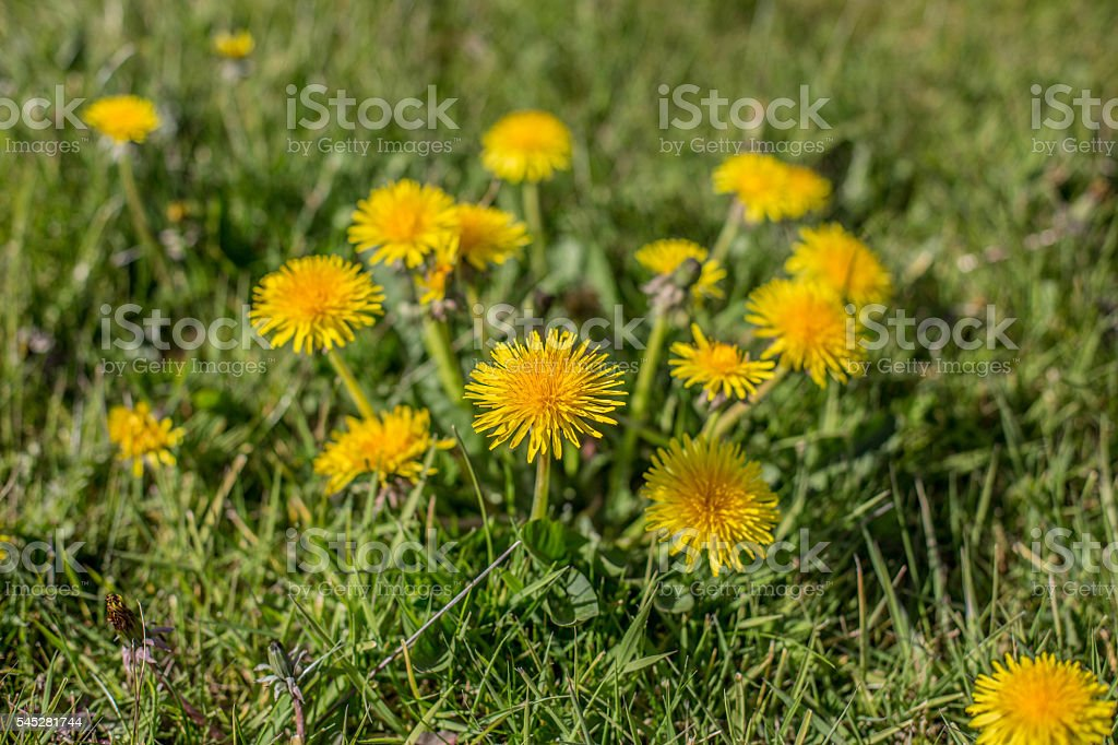 Close up of a bunch of dandelion weeds stock photo