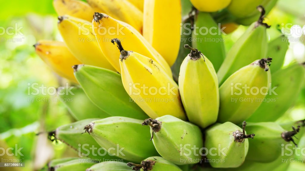 Close up of a bunch of raw bananas in an orchard. stock photo