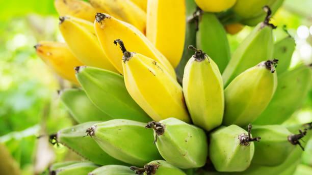 Nahaufnahme von ein paar rohe Bananen in einem Obstgarten. – Foto