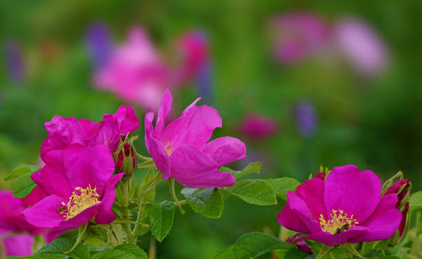 Close up of a bush of wild roses with a multicolor soft background Close up of a bush of wild roses with a multicolor soft background wild rose stock pictures, royalty-free photos & images