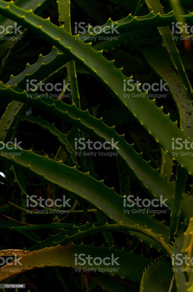 A close up of a cactus - plant which is member of the plant family Cactaceae, a family comprising about 127 genera with some 1750 known species of the order Caryophyllales stock photo