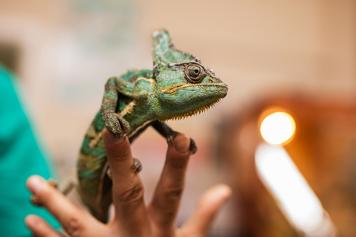 Close up of a chameleon in unrecognizable human hand.