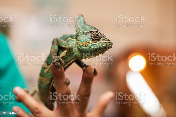 Close up of a chameleon on human fingers picture id501644672?b=1&k=6&m=501644672&s=612x612&h=zafmtnthjotdawjp9gxqsyf5ykqtdomyia3oue7gkqo=