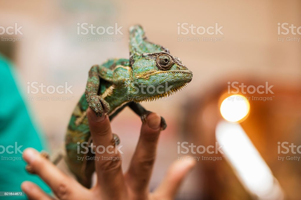 Close up of a chameleon on human fingers. stock photo