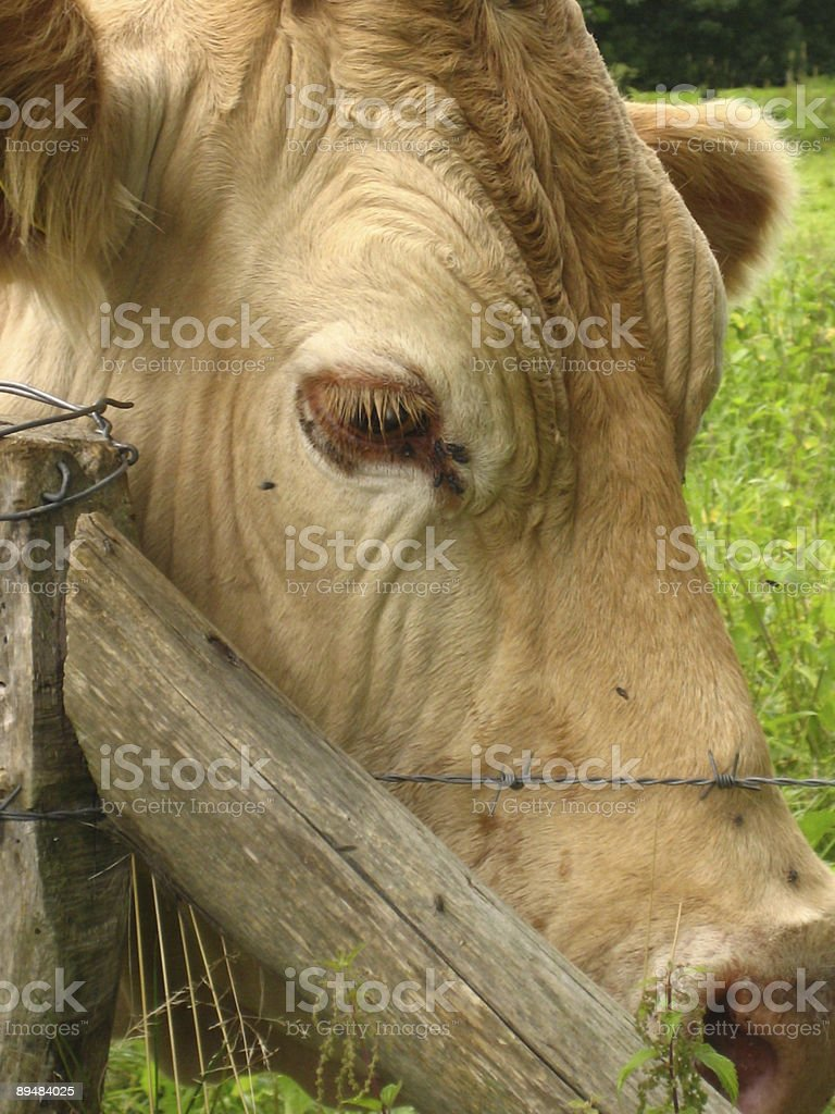 Close up of a Charolais cow head. royalty-free stock photo