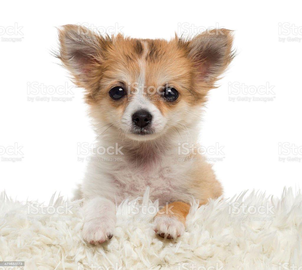 Close up of a Chihuahua puppy looking at the camera royalty-free stock photo