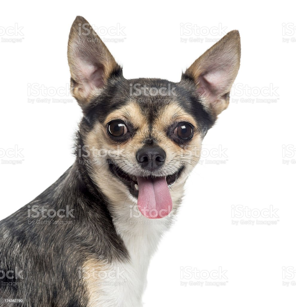 Close up of a Chihuahua sticking the tongue out, isolated royalty-free stock photo