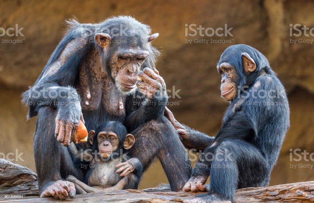 Close up of a Chimpanzee-family stock photo