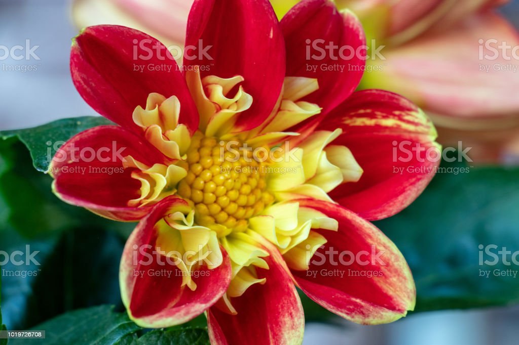 A close up of a Chrysanthemum hybrid flower head. stock photo