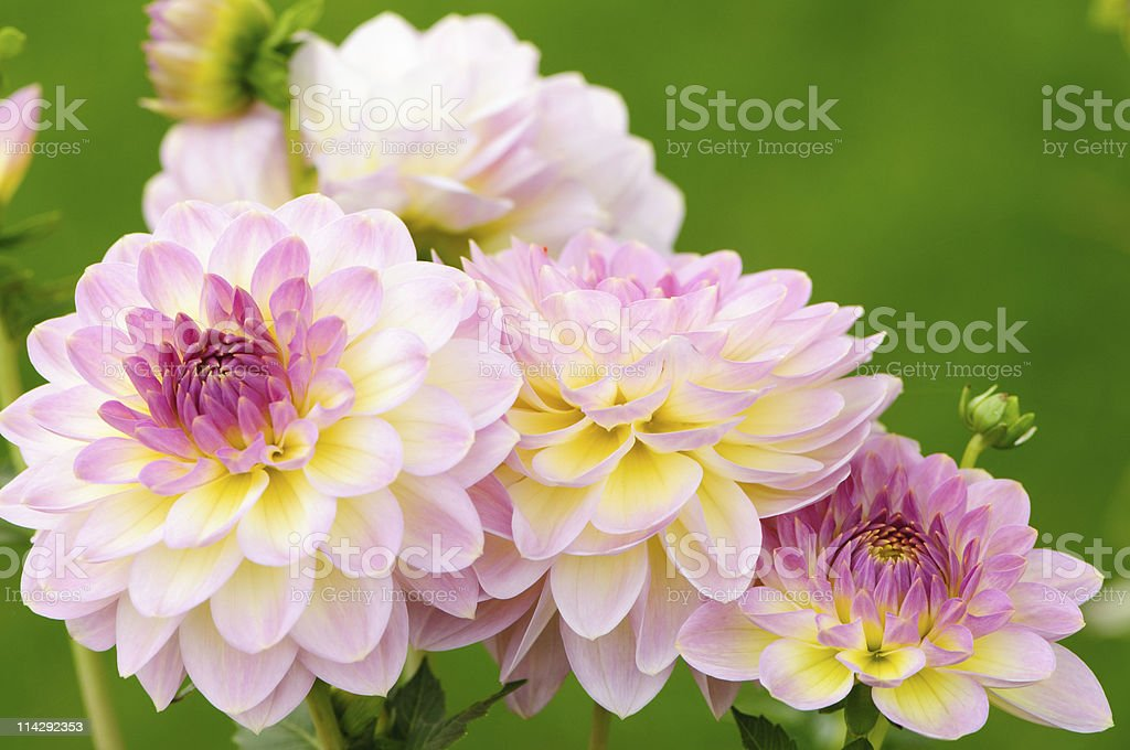 Close up of a cluster of pink dahlias stock photo