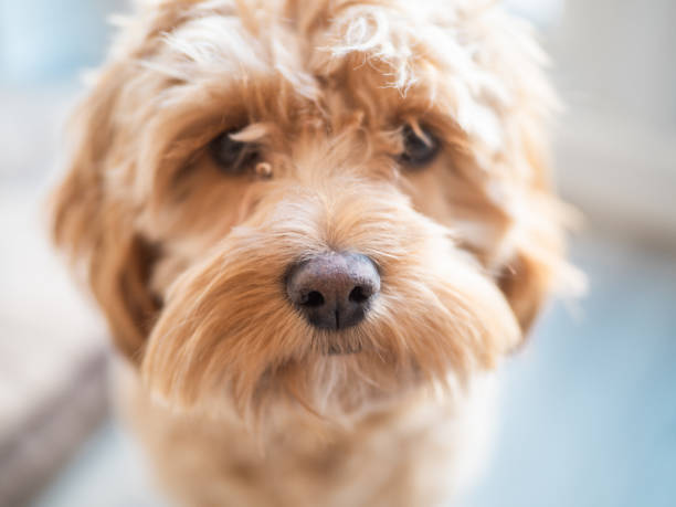 Close up of a Cockapoo Puppy Dog stock photo