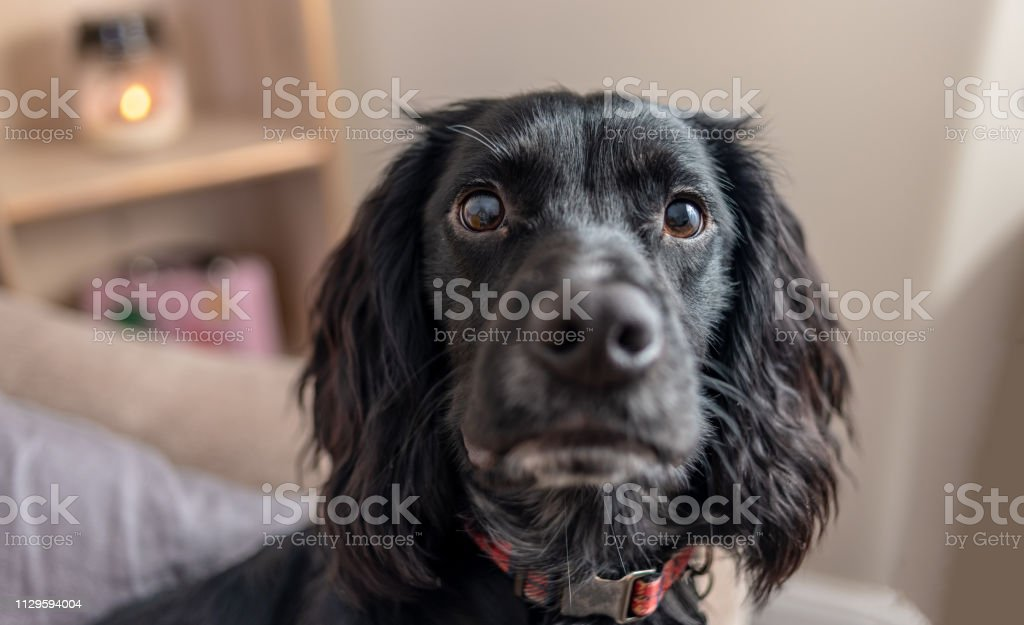 Close up of a cocker spaniel puppy's face stock photo