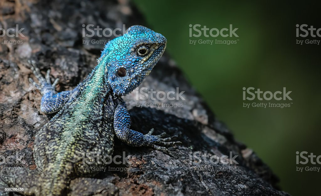 Close up of a colorful Tree agama – Foto