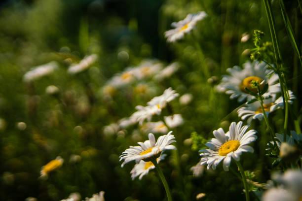 sluit omhoog van een gemeenschappelijke daisy (perennis bellis) - madeliefje stockfoto's en -beelden
