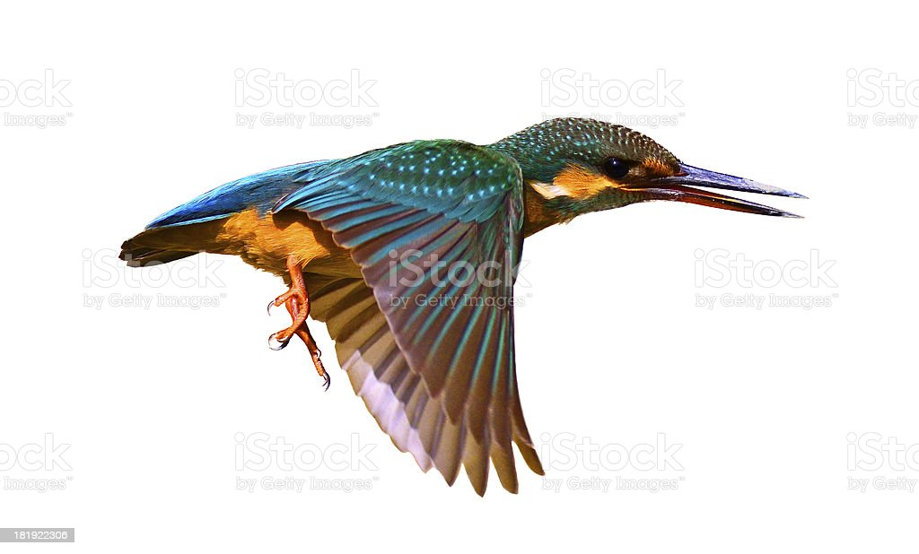 Close up of a Common Kingfisher (Alcedo Atthis) stock photo