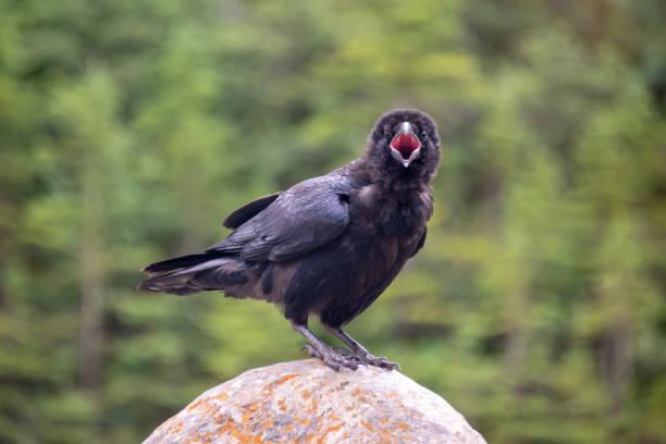 Nahaufnahme eines gewöhnlichen Raben (Corvus corax) auf einem Felsen, der ruft und in die Kamera schaut, Britisch-Kolumbien, Kanada – Foto