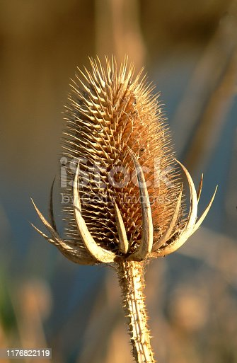 Macro photo of a common teasel in the fall
