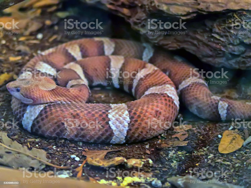 Close up of a Copperhead stock photo