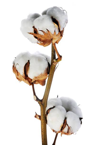 O algodão - foto de acervo