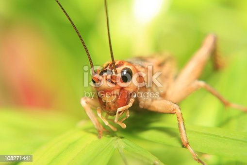 Macro of a cricket on a leaf  [url=/search/lightbox/7036481/?refnum=kerkla#45d76e][img]http://stockpage.de/misc/istock/banner/banner_vetta.jpg[/img][/url]