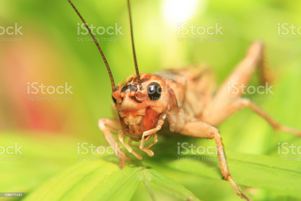Close up of a cricket on a green leaf stock photo