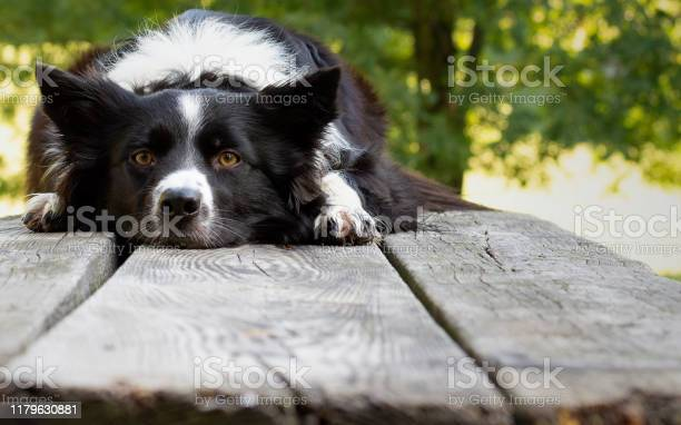 Close up of a cute and funny border collie puppy lying on the wooden picture id1179630881?b=1&k=6&m=1179630881&s=612x612&h= prtryp8ltlq2sknycvyldtfqqb2cpfajnyglm2rolk=