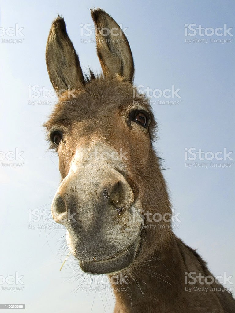 Close up of a cute donkey head  stock photo