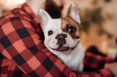 Close up of a cute French bulldog