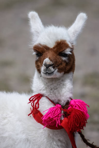 Close up of a cute Lama baby with brown face and white body, bobbles around the neck stock photo