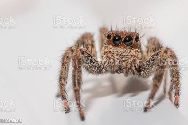 Close up of a cute little jumping spider on a white background picture id1008799316?b=1&k=6&m=1008799316&s=612x612&h=ov8rfbcsupmybm9kycjf1l1yernvrmppnhtfdjsdf c=