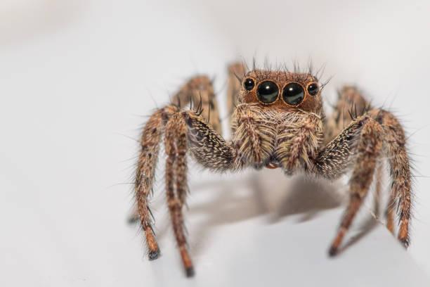 關閉一個可愛的小跳躍的蜘蛛在白色背景圖像檔