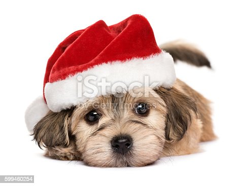 istock Close up of a cute lying Christmas Havanese puppy dog 599460254