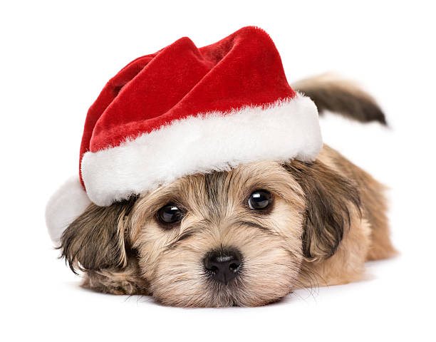 close up of a cute lying christmas havanese puppy dog - lustige grußkarten stock-fotos und bilder