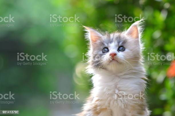Close up of a cute silver patched blue eyes kitten sitting on a in picture id931413792?b=1&k=6&m=931413792&s=612x612&h=oekiaxmlbvnjfs8vdn6di2744lvt0evkcf3cek5czm0=